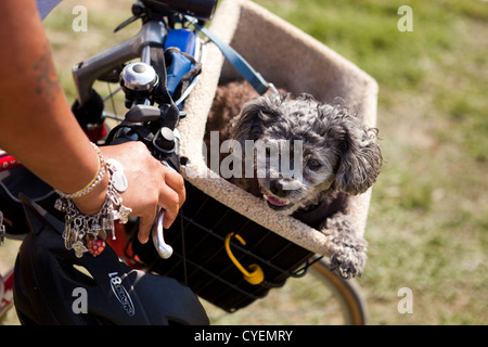 Small dog riding in bicycle basket - Stock Photo