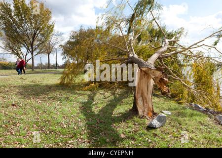 Wind damaged willow tree - Stock Photo