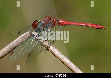 Male of Ruddy Darter (Sympetrum sanguineum), skimmer family (Libellulidae), Switzerland - Stock Photo