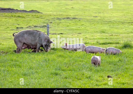 The Netherlands, Kortenhoef, Piglets and sow. - Stock Photo