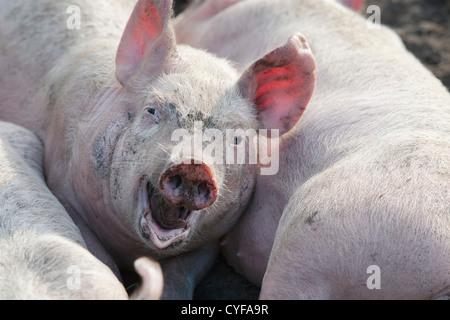 The Netherlands, Kortenhoef, Piglets. - Stock Photo