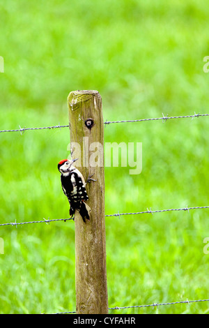 The Netherlands, 's-Graveland, Middle Spotted Woodpecker (Dendrocopos medius) in the rural estate area called Spanderswoud. - Stock Photo