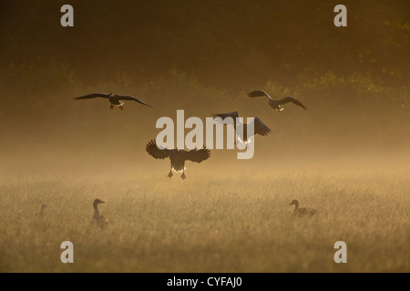 Rural estate called Spanderswoud. Greylag Geese (also spelled Graylag in the United States), Anser anser, landing. - Stock Photo