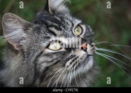 A very cute long haired tabby cat with long whiskers gazing intently - Stock Photo