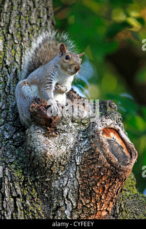 Grey Squirrel sitting in a tree - Stock Photo