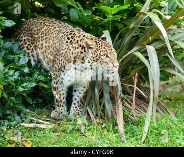 North Chinese Leopard Stalking through Bush Panthera Pardus Japonensis - Stock Photo