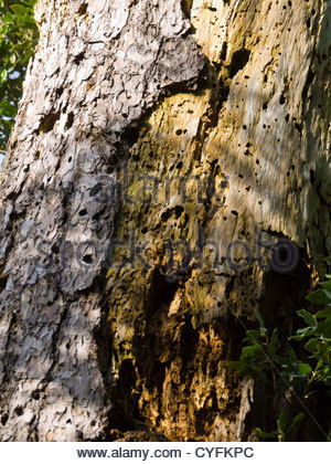 Detail of Tree Bark Killed by Boring Insect Termite or Beetle New Forest Hampshire England - Stock Photo
