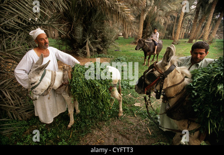 Egypt, near Cairo, countryside, Nile valley. Farmers with donkeys carrying fodder for cattle. - Stock Photo