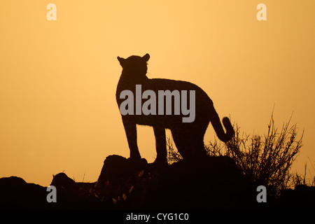 Leopard (Panthera pardus) silhouetted against an orange sky at sunrise, South Africa - Stock Photo