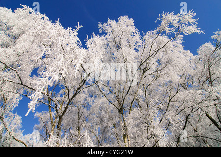 Birch trees covered in frost - Stock Photo