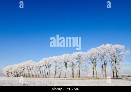 Winter landscape with a row of poplar trees covered in frost and a clear blue sky - Stock Photo