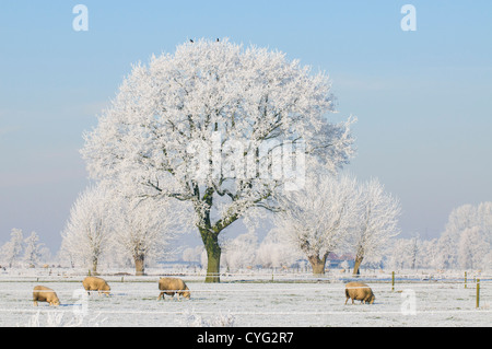 Winter landscape with a tree covered in frost and sheep in a field - Stock Photo
