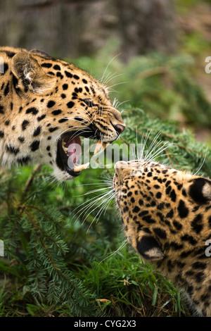 Snarling Amur Leopard Face Off - Stock Photo