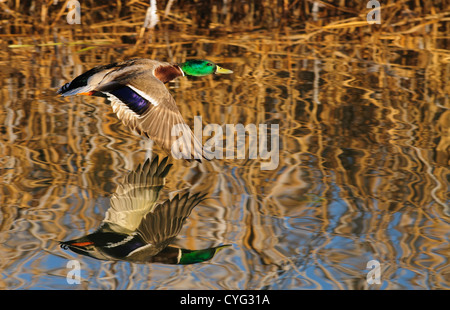 Mallard duck flying low over the water with his reflection - Stock Photo