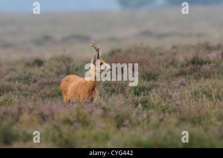 Roe deer male in a field of heather - Stock Photo