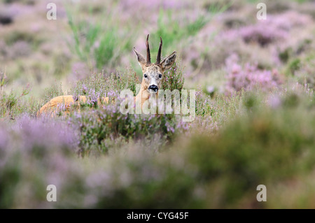 Roe deer male in blooming heather - Stock Photo