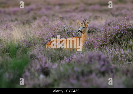 Roe deer in blooming heather - Stock Photo
