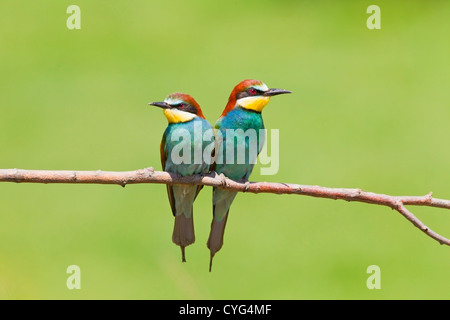 European bee eater (Merops apiaster) pair perched on branch next to each other, Bulgaria, Europe - Stock Photo