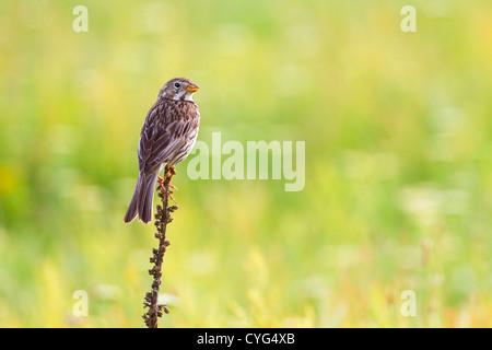 corn bunting (Miliaria calandra) adult perched on vegetation, Bulgaria, Europe - Stock Photo