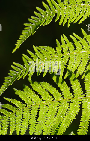Bracken (Pteridium aquilinum), backlit - Stock Photo