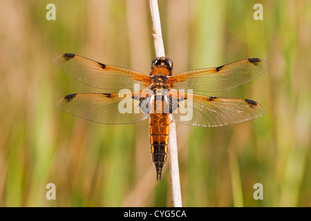 four-spot chaser dragonfly (Libellula quadrimaculata) adult perched on reed, Upton Fen, Norfolk, England United - Stock Photo