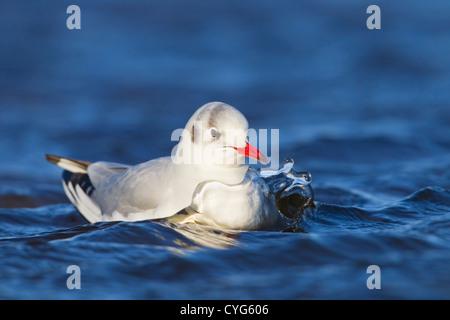 black-headed gull (Chroicocephalus ridibundus) in winter plumage swimming on water, Salthouse, Norfolk, England, - Stock Photo