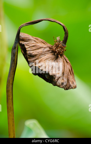 Withered lotus - Stock Photo