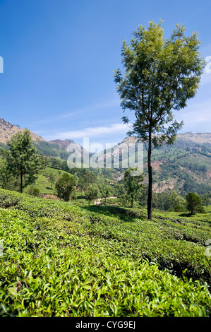 Vertical view of the stunning tea plantations covering the landscape in the Munnar Hills. - Stock Photo
