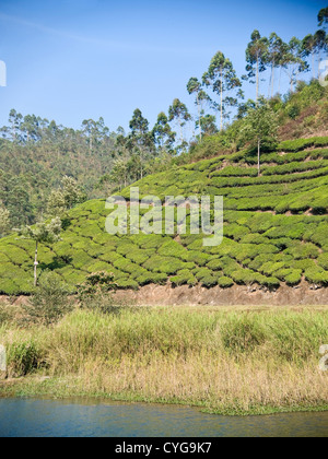 Vertical view of the tea plantation bushes covering the slopes in the Munnar hills, India - Stock Photo