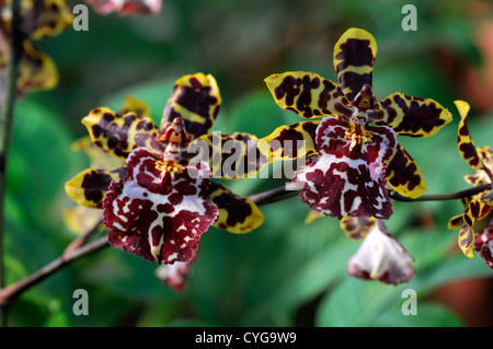 wilsonara tiger brew flower flowers exotic tropical orchid orchids closeup yellow cream brown markings plant portraits - Stock Photo