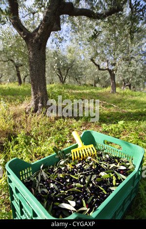 Olives being harvested in the Abruzzo region of Italy. - Stock Photo