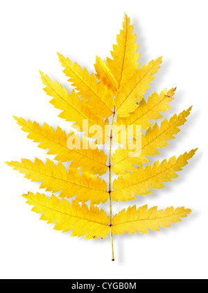 Autumn leaf of a mountain ash isolated on a white background - Stock Photo