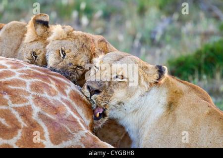 lion (Panthera leo) three animals feeding on giraffe carcass, Kenya, East Africa - Stock Photo