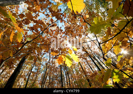 colourful autumn leaves in woodland, norfolk, england - Stock Photo
