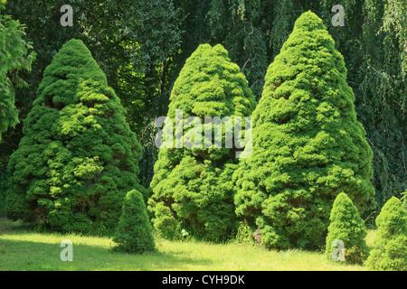 Alberta white spruce 'Conica', Picea glauca var. albertiana 'Conica' (Arbofolia, France) - Stock Photo