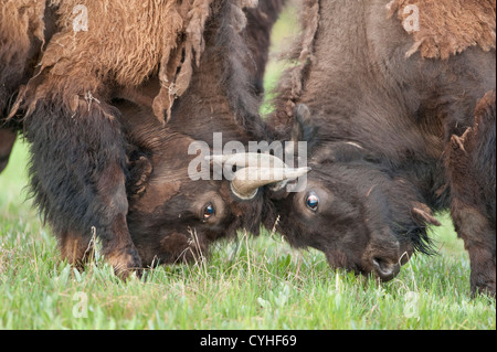 Young bison bulls (Bison bison) spar during the summer, Yellowstone National Park, Wyoming - Stock Photo