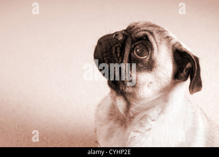 Portrait of a Pug Puppy in Sepia - Stock Photo