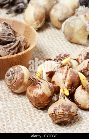 Assorted flower bulbs (crocus, anemone, grape hyacinth, ranunculus) - Stock Photo