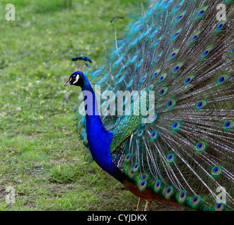 Indian peafowl (Pavo cristatus)showing off his plumage at the Tygerberg Zoo near Cape town. - Stock Photo