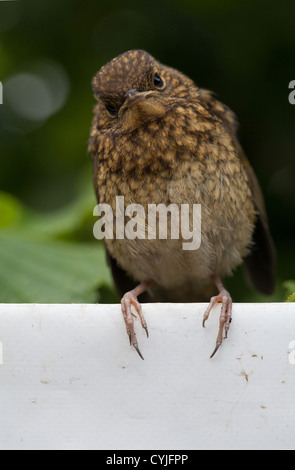 gmlh0508_3113 Erithacus rubecula Young robin perching on white tarpaulin - Stock Photo
