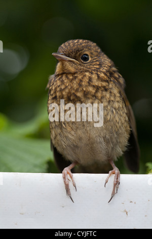 Erithacus rubecula Young robin perching on white tarpaulin - Stock Photo