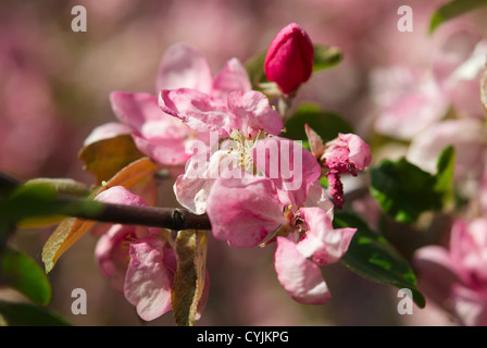 Branch of a pink apple blossoms closeup. Small DOF - Stock Photo