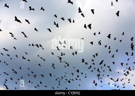 Large swarm of fruit bats or Flying Fox (pteropus giganteus) in Tissamaharama, Sri Lanka - Stock Photo
