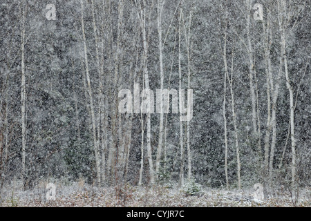 Spruce and birch trees in a snowstorm, at the edge of a meadow, Greater Sudbury, Ontario, Canada - Stock Photo