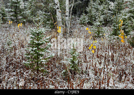 Spruce, birch and willow trees in a snowstorm, in an old meadow, Greater Sudbury, Ontario, Canada - Stock Photo