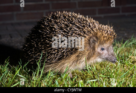 A hedgehog is walking in the grass in the dark in a garden - Stock Photo