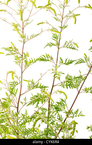 Ambrosia artemisiifolia, Common Ragweed in flowers. - Stock Photo