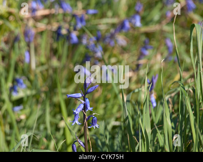 Howth on the coast near Dublin Ireland has a beautiful looped walk for hikers, closeup of bluebells along the path - Stock Photo