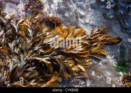Brown / Green Toothed Wrack ( Fucus Serratus) seaweed lying on smooth rock on Scottish Beach, Scotland, UK - Stock Photo