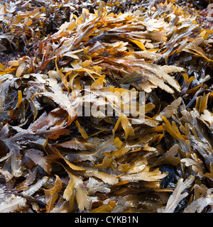 Brown / Green Toothed Wrack ( Fucus Serratus) seaweed on Scottish Beach, Scotland, UK - Stock Photo